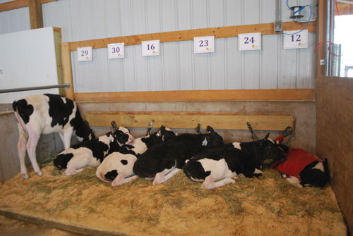 A group of baby calves snuggling to stay warm!